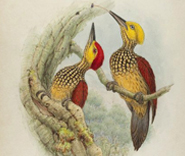 Gould Bird Illustration thumbnail image